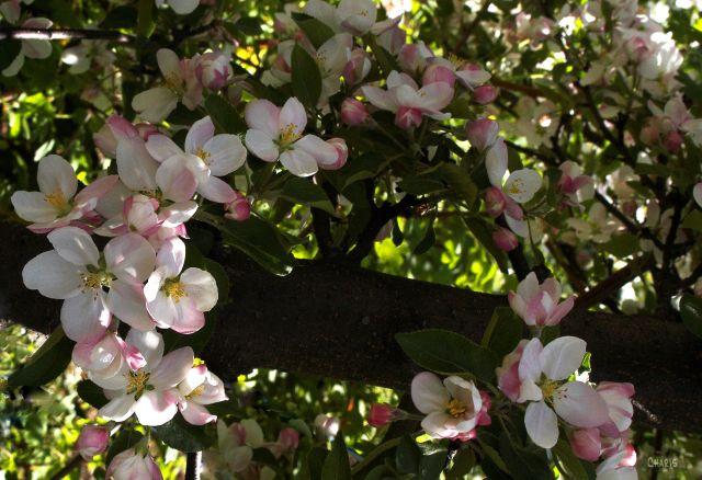 apple blossom ring ch