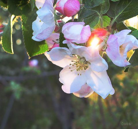 apple blossom sun beam charis