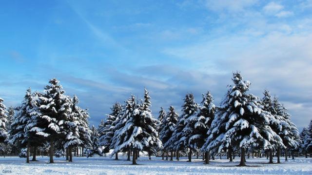 Evergreen winter blue