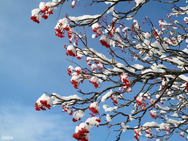 mtn ash branches horizontal