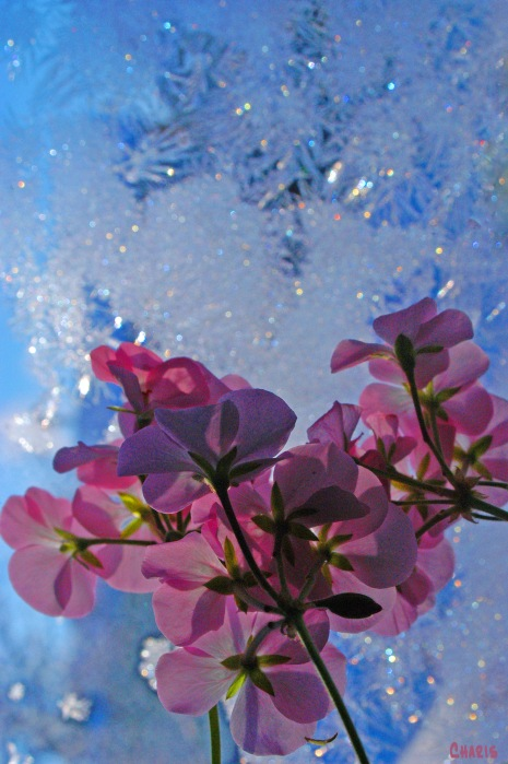 wintered geraniums frosty window