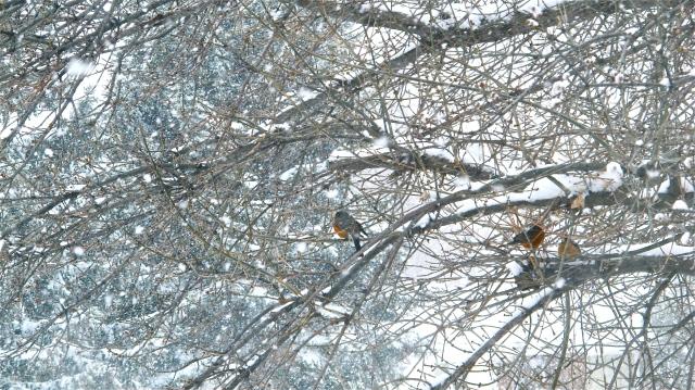 Snowy robins