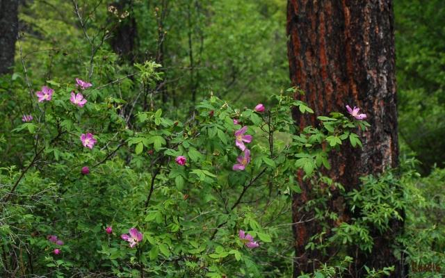 Deep Woods Roses