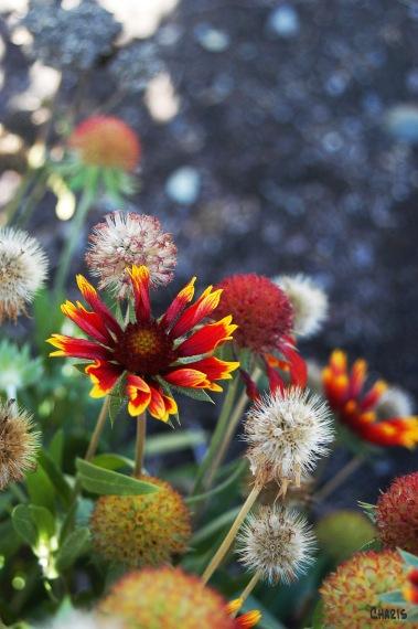 strawflower 3DSC_0201