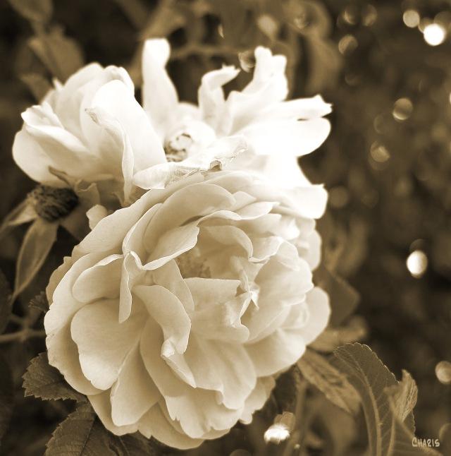 IMG_0184 sepia rose
