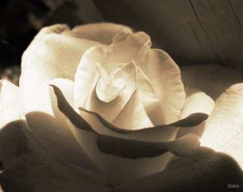 IMG_0212 sepia rose 1