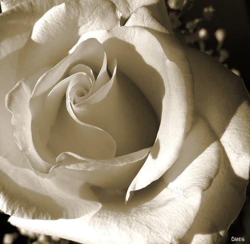 IMG_0216 sepia rose 2