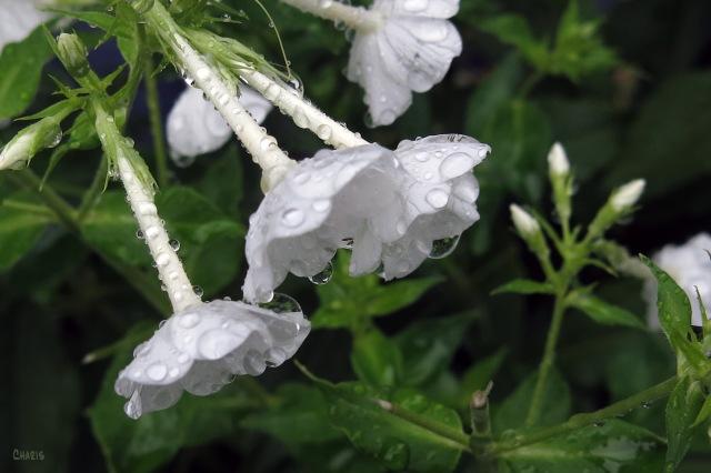 IMG_1851 rain phlox