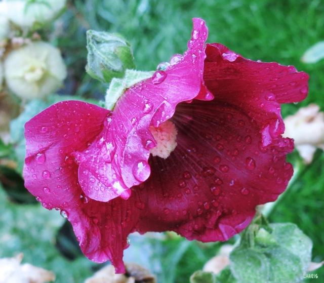 IMG_1854 rain hollyhock ch