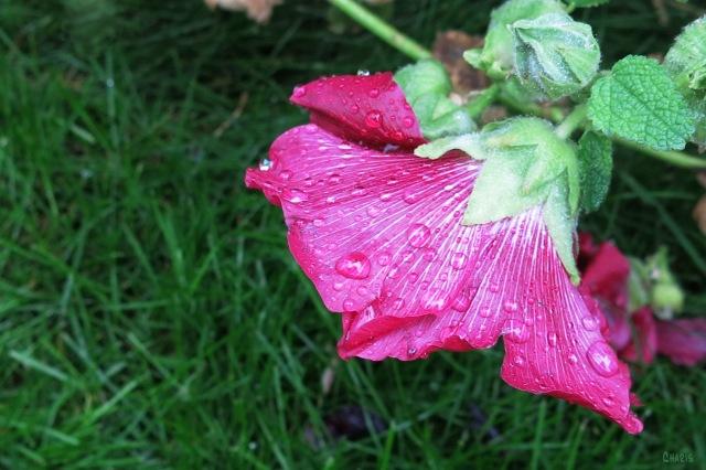 IMG_1858 rain holly hock