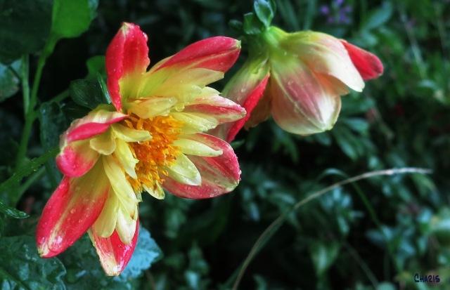 IMG_1871 rain red yellow dahlia