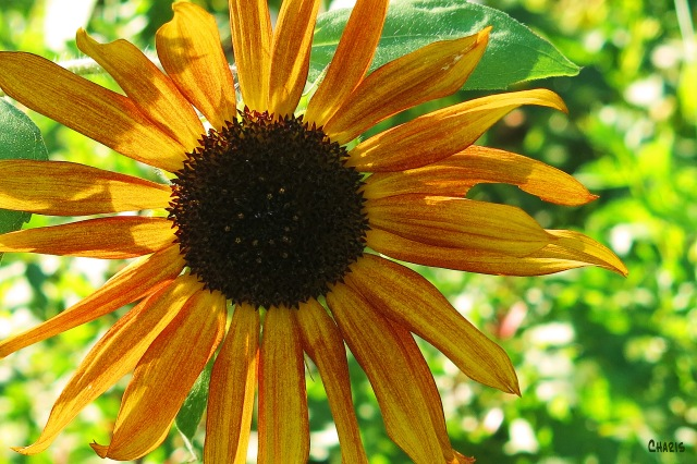 IMG_1928 one sunflower