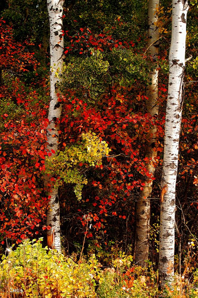 aspen red leaves