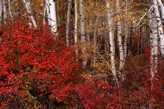 autumn bushes aspen