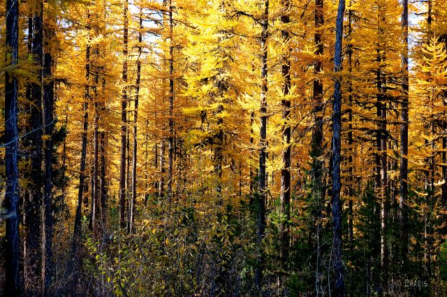 IMG_4982 Larch Forest