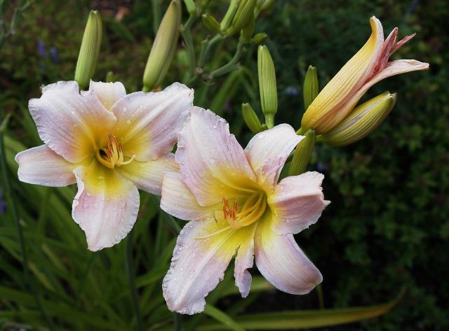 day lilies pink rain drops flowers DSC_0094