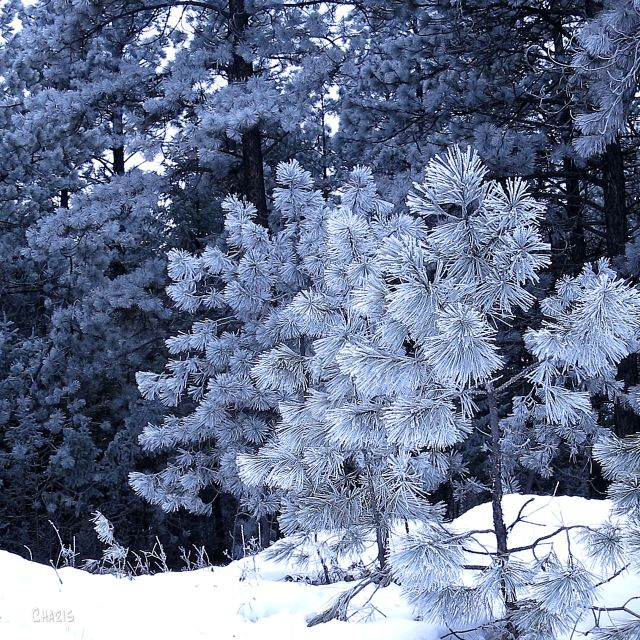 blue pine frost IMG_6754
