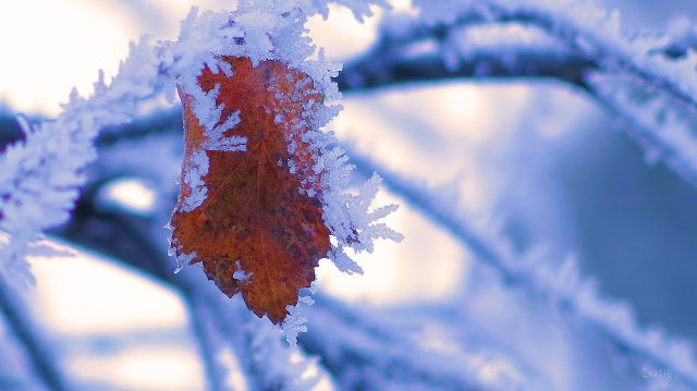 cem leaf frost IMG_6731
