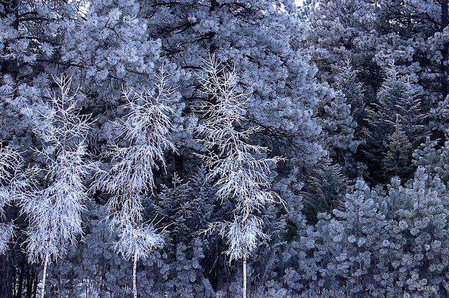 cem pine frost IMG_6721