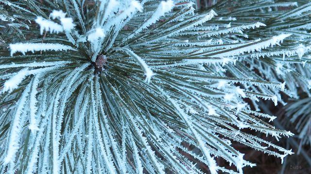 cem pine needles IMG_6749