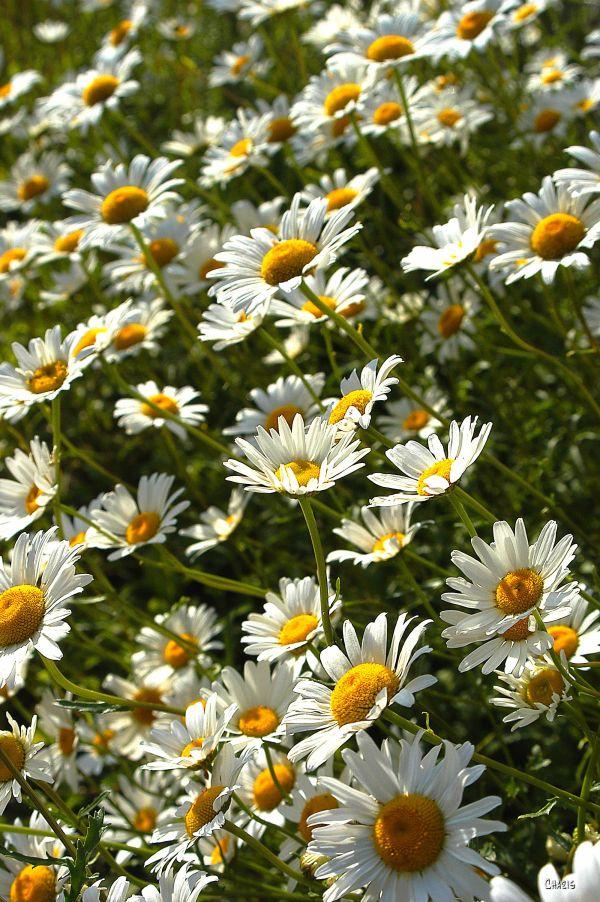DSC_0007 daisies pick me ch
