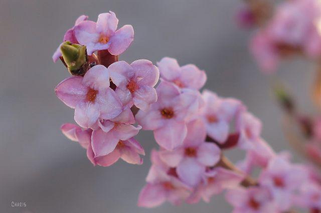 IMG_7931 pink spring