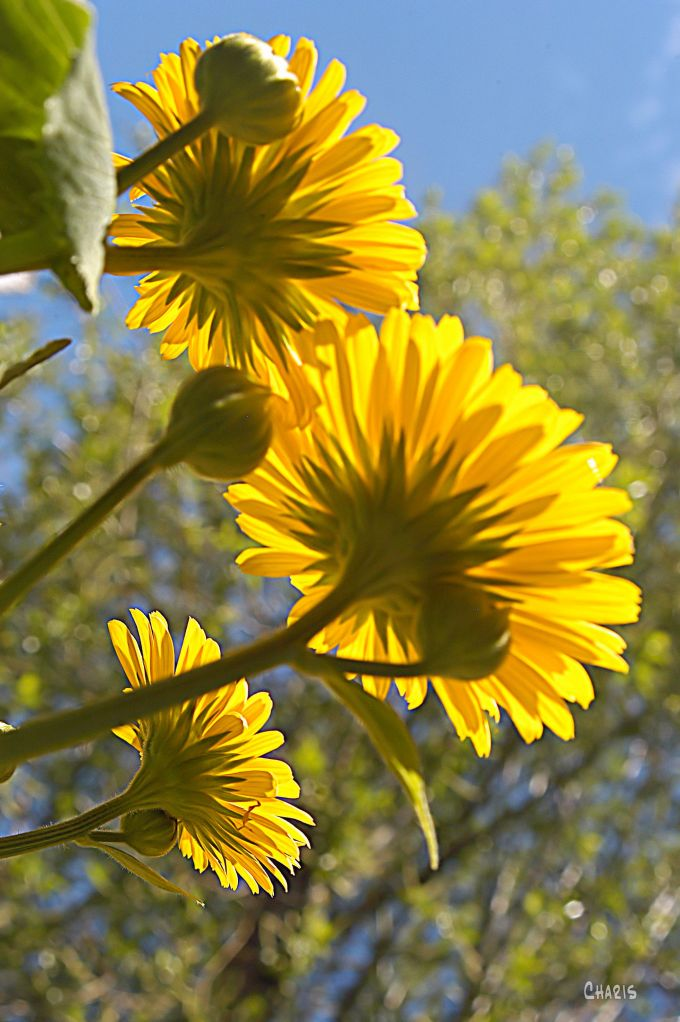 DSC_0021 looking up yellow flowers