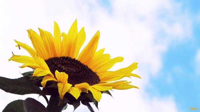 sunflower ch