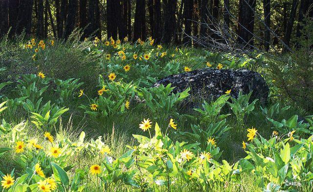 sunflower forest ch