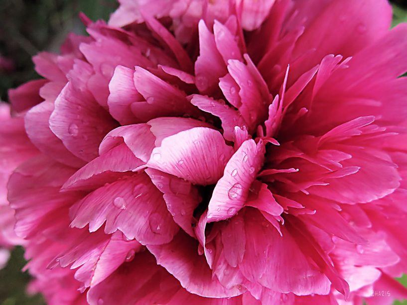 IMG_0366 peopny pink