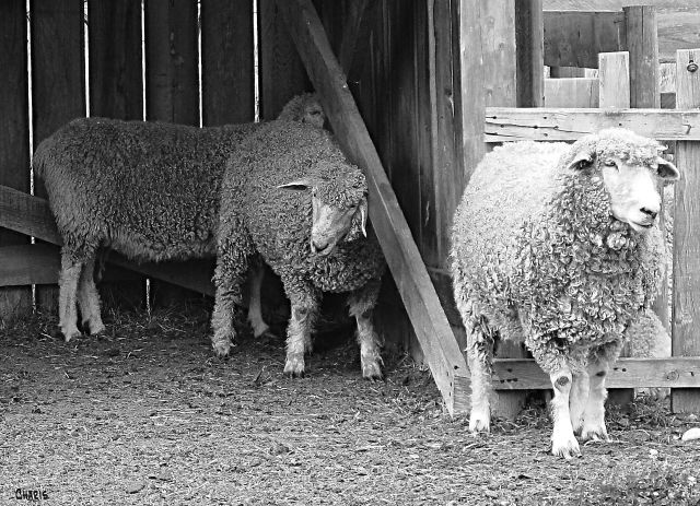 sheep bw ch
