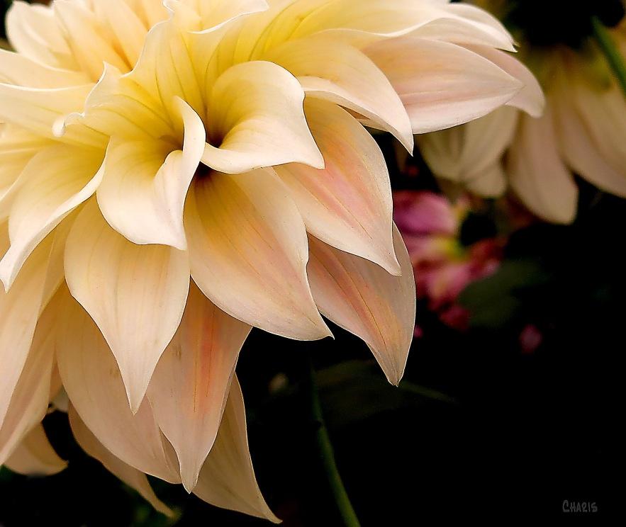 IMG_2237 white pink dahlia corner ch