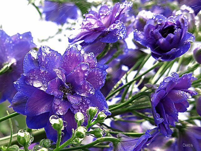 IMG_2282 blue purple flower mist ch