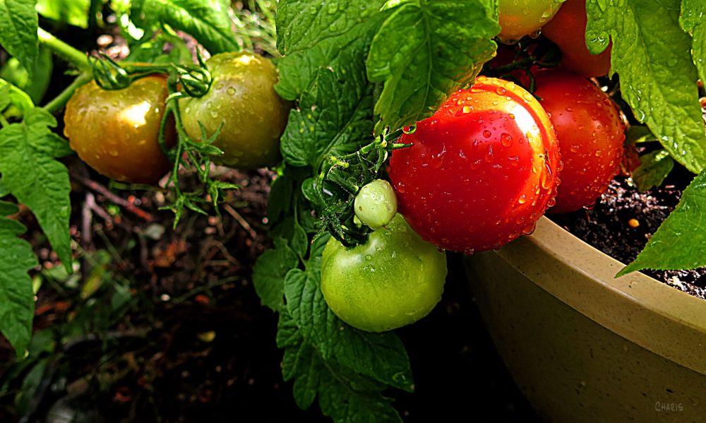 IMG_4137 tomatoes fruit