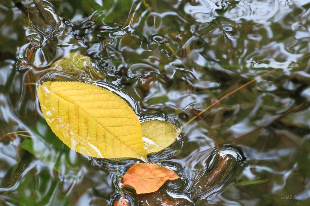IMG_5120 yellow leaf on water ch
