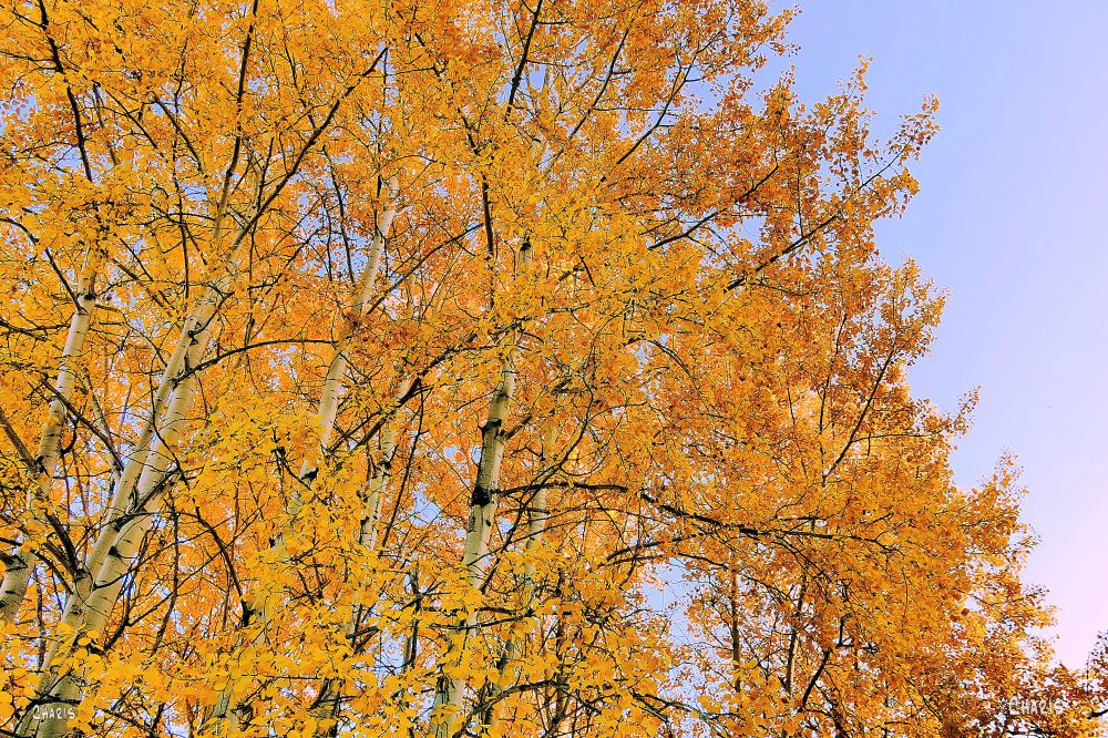 IMG_4960 yellow aspen ch