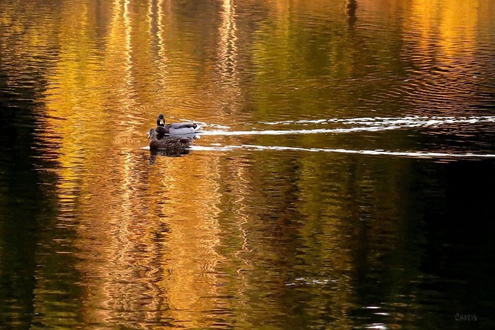 IMG_5777 ducks golden pond