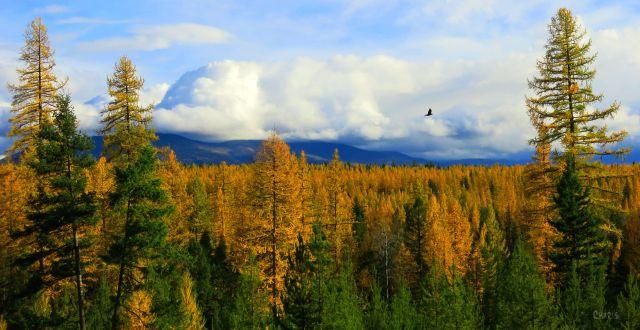 IMG_7914_larch raven autumn ch