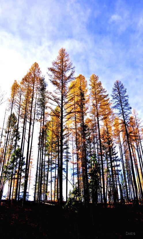 IMG_7969 larch gold creek tall trees ch
