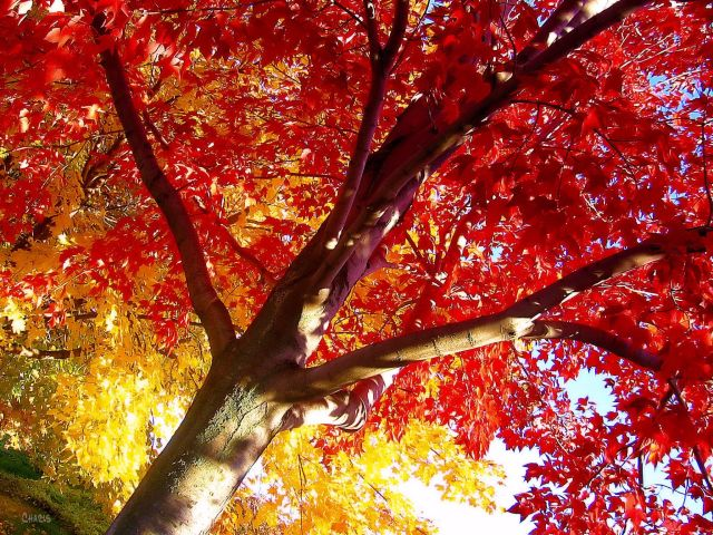 maple red yellow autumn ch