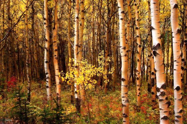 yellow aspen  ch DSC_0488