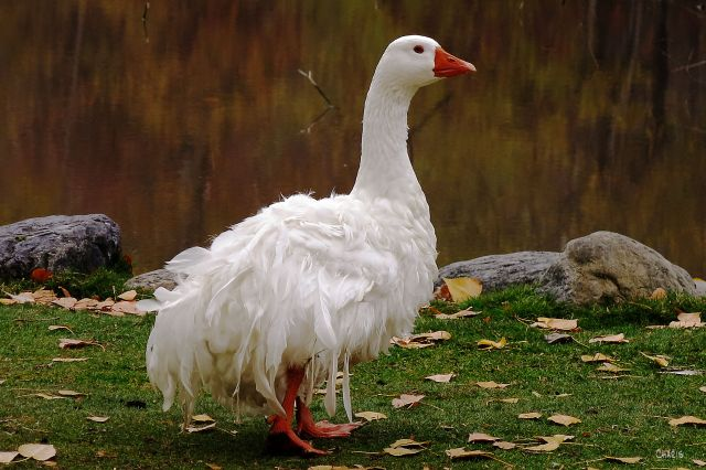 IMG_8543 frazzled goose ch