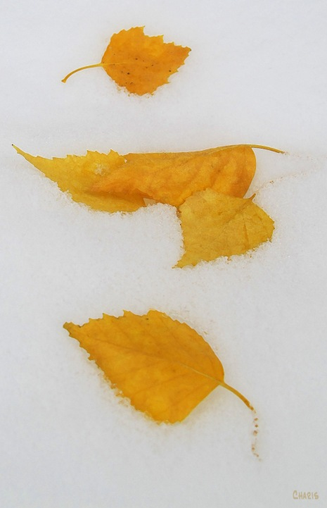 yellow leaves snow db