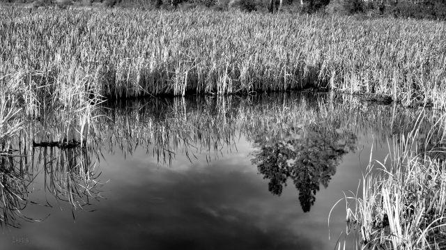 IMG_2432 reeds bw