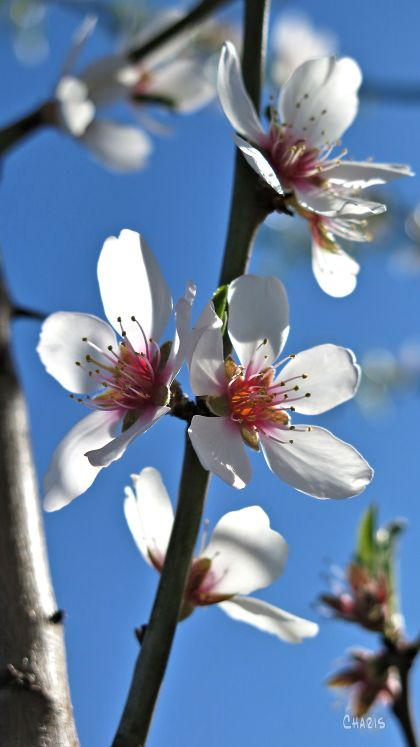 almond blossom vertical ch IMG_1131