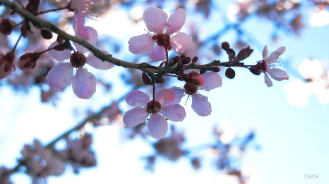 blossoms skyward IMG_0763