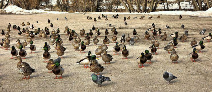 IMG_0486 ducks 3