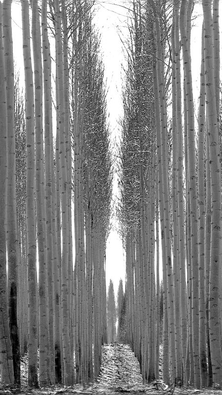 kennewick trees vertical bw IMG_1309