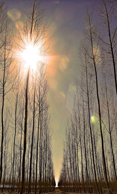 kennewick trees 3  ch IMG_1293
