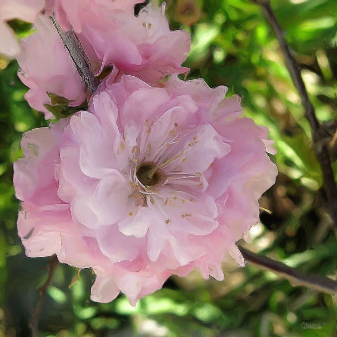 pink blossom flower oil ch spring